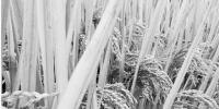 衢州江山市石门镇泉塘村泉塘畈的百亩晚稻。 - 浙江新闻网
