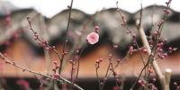 超山大明堂前有几朵红梅悄然绽放 记者 周涛 摄 - 浙江新闻网