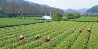 西湖龙井茶开采 - 杭州网