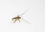 图为:在浙江沿海新发现的物种——中华二叉摇蚊(雄成虫)。 陈春棠 摄 - 浙江新闻网