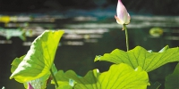 今年西湖的第一朵荷花开啦 - 杭州网
